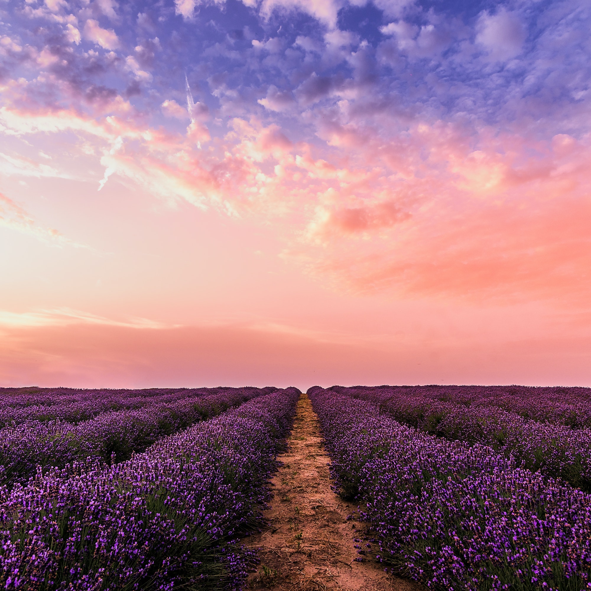 Lavender field in full bloom underneath a pretty pink sky
